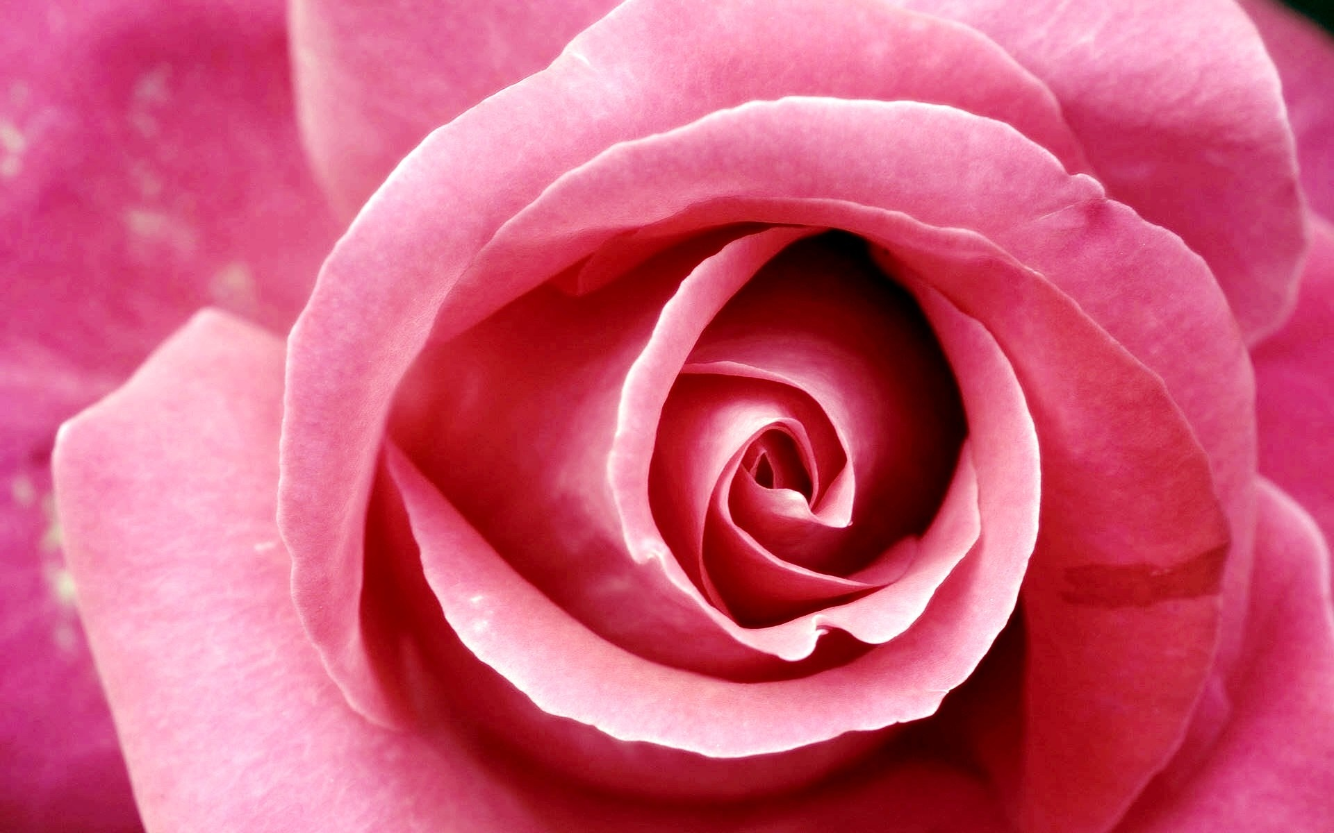 Pink-Rose-Flower-HD-Wallpapers