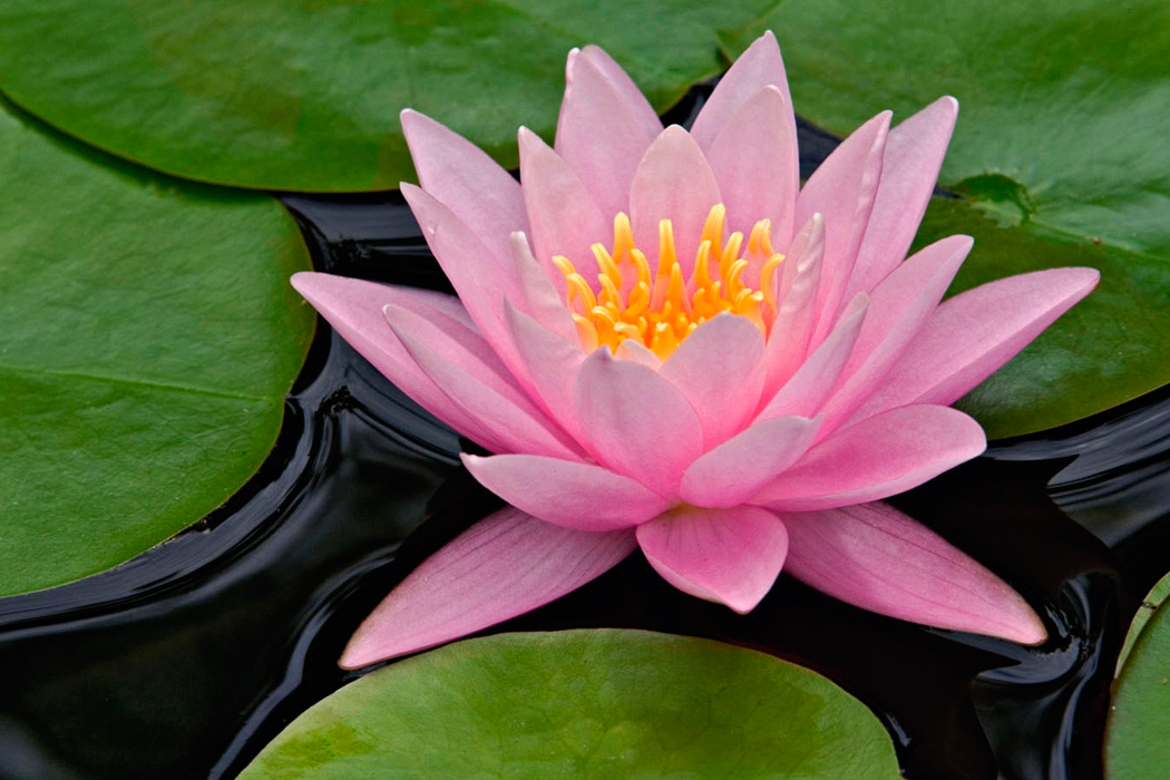 The Lotus Flower Grows In Still Water By Sara Ivanhoe
